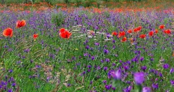 Les Fleurs des Pyrénées 4