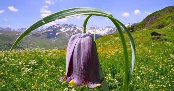 Les Fleurs des Pyrénées 6