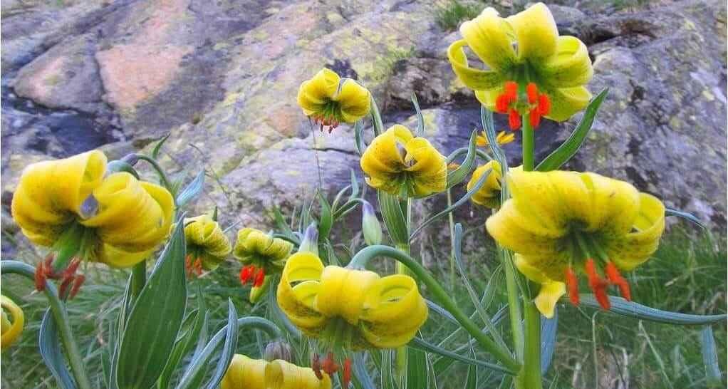 Les Fleurs des Pyrénées 9